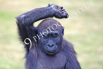 AN-Gorilla 00025 Dancing baby gorilla by Peter J Mancus
