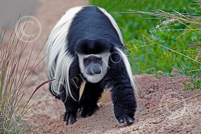 Kikuyu Colobus 00001 A walking adult kikuyu colobus, by Peter J Mancus