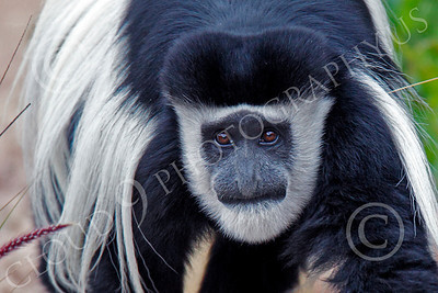Kikuyu Colobus 00018 Close up of an adult kikuyu colobus' face, by Peter J Mancus