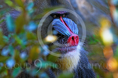 AN-Mandrill 00006 by Peter J Mancus
