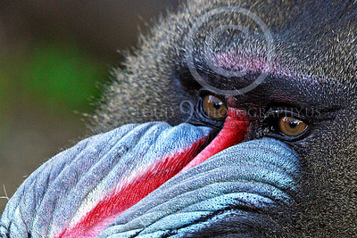 AN-Mandrill 00003 Mandrill's eyes by Peter J Mancus