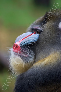 Mandrill 00025 Adult male mandrill by Peter J Mancus