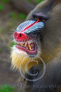 AN-Mandrill 00029 by Peter J Mancus