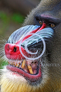AN-Mandrill 00007 by Peter J Mancus