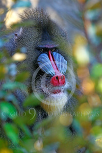 AN-Mandrill 00031 by Peter J Mancus