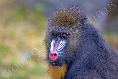 Mandrill 00024 by Juvenile male mandrill by Peter J Mancus