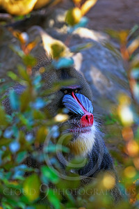 AN-Mandrill 00011 by Peter J Mancus
