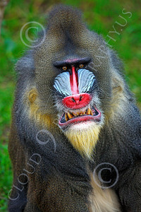 AN-Mandrill 00005 by Peter J Mancus