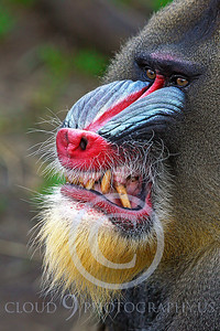 AN-Mandrill 00013 by Peter J Mancus