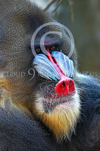 AN-Mandrill 00021 by Peter J Mancus