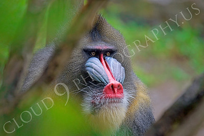 Mandrill 00027 Adult male mandrill by Peter J Mancus