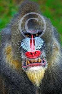 AN-Mandrill 00023 by Peter J Mancus