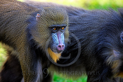 AN-Mandrill 00010 Juvenile mandrill by Peter J Mancus