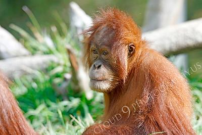 Orangutan 00012 by A juvenile orangutan by Peter J Mancus