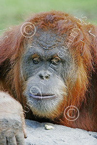 Orangutan 00021 Close up portrait of a mature orangutan, by Peter J Mancus