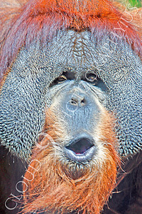 Orangutan 00005 by A large male orangutan makes a face by Peter J Mancus