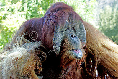 Orangutan 00024 Close up portrait of a mature male orangutan, by Peter J Mancus