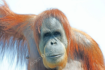 Orangutan 00006 by Peter J Mancus