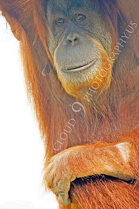 Orangutan 00009 by Peter J Mancus
