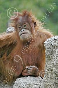 Orangutan 00023 A juvenile orangutan, by Peter J Mancus
