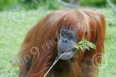 Orangutan 00030 A mature orangutan, by Peter J Mancus