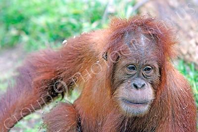 Orangutan 00014 A juvenile orangutan by Peter J Mancus