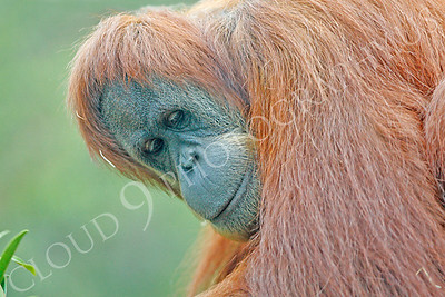 Orangutan 00002 An adult orangutan looks down from a tree by Peter J Mancus