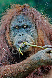 Orangutan 00015 A feeding adult orangutan by Peter J Mancus