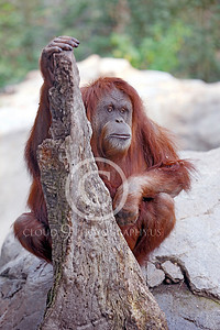 Orangutan 00003 by Peter J Mancus