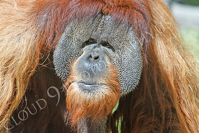 Orangutan 00026 An adult male orangutan by Peter J Mancus