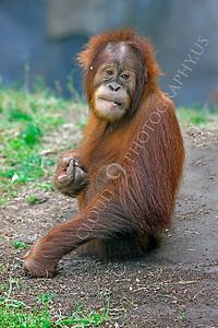 Orangutan 00007 A juvenile orangutan by Peter J Mancus