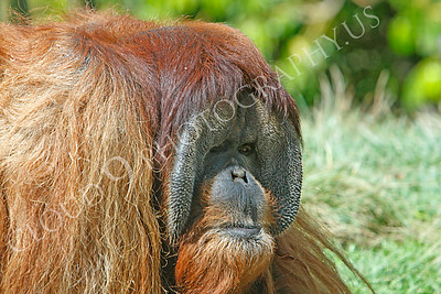 Orangutan 00034 An adult male orangutan by Peter J Mancus
