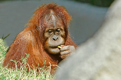 Orangutan 00020 by Peter J Mancus