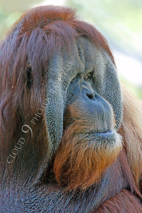 Orangutan 00011 An adult male orangutan by Peter J Mancus