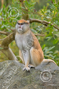 Patas Monkey 00021 A mature patas monkey sits on a rock, by Peter J Mancus