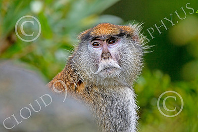 Patas Monkey 00020 A mature patas monkey behind a rock, by Peter J Mancus