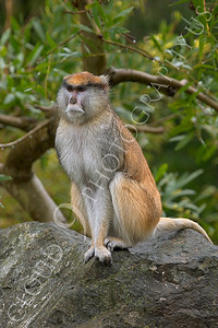 Patas monkey 00002 by Peter J Mancus