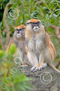 Patas Monkey 00029 Two mature patas monkeys sit on a rock, by Peter J Mancus