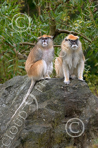 Patas Monkey 00023 Two mature patas monkeys sit on a rock, by Peter J Mancus
