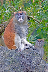 Patas Monkey 00027 A mature patas monkey sits on a rock with an on-looker monkey, by Peter J Mancus