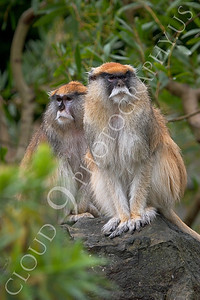 Patas monkey 00015 by Peter J Mancus
