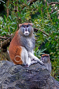 Patas monkey 00007 by Peter J Mancus
