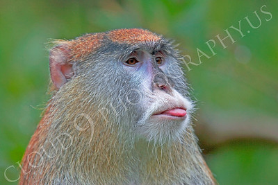 Patas monkey 00012 by Peter J Mancus