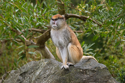 Patas monkey 00003 by Peter J Mancus