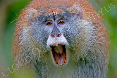Patas monkey 00005 by Peter J Mancus