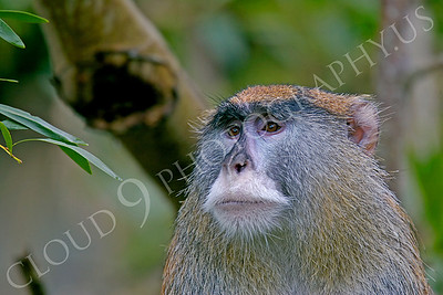 Patas monkey 00010 by Peter J Mancus
