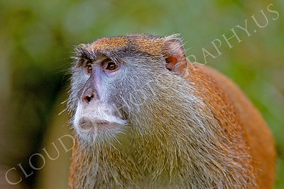 Patas monkey 00006 by Peter J Mancus