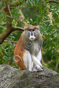Patas monkey 00011 by Peter J Mancus