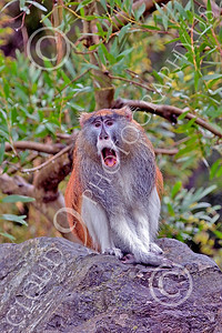 Patas Monkey 00025 A mature patas monkey squeals, by Peter J Mancus