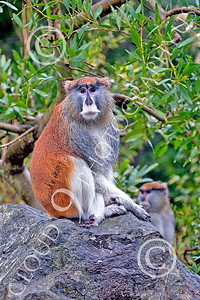 Patas Monkey 00031 A mature patas monkey sits on a rock, by Peter J Mancus